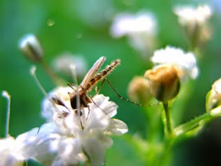 Nyamuk Menghisap Darah Tidak Untuk Dimakan