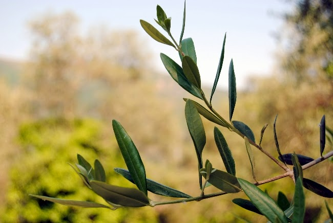 Ast mit Olivenblättern