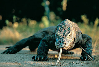 El dragón de Komodo - Varanus komodoensis