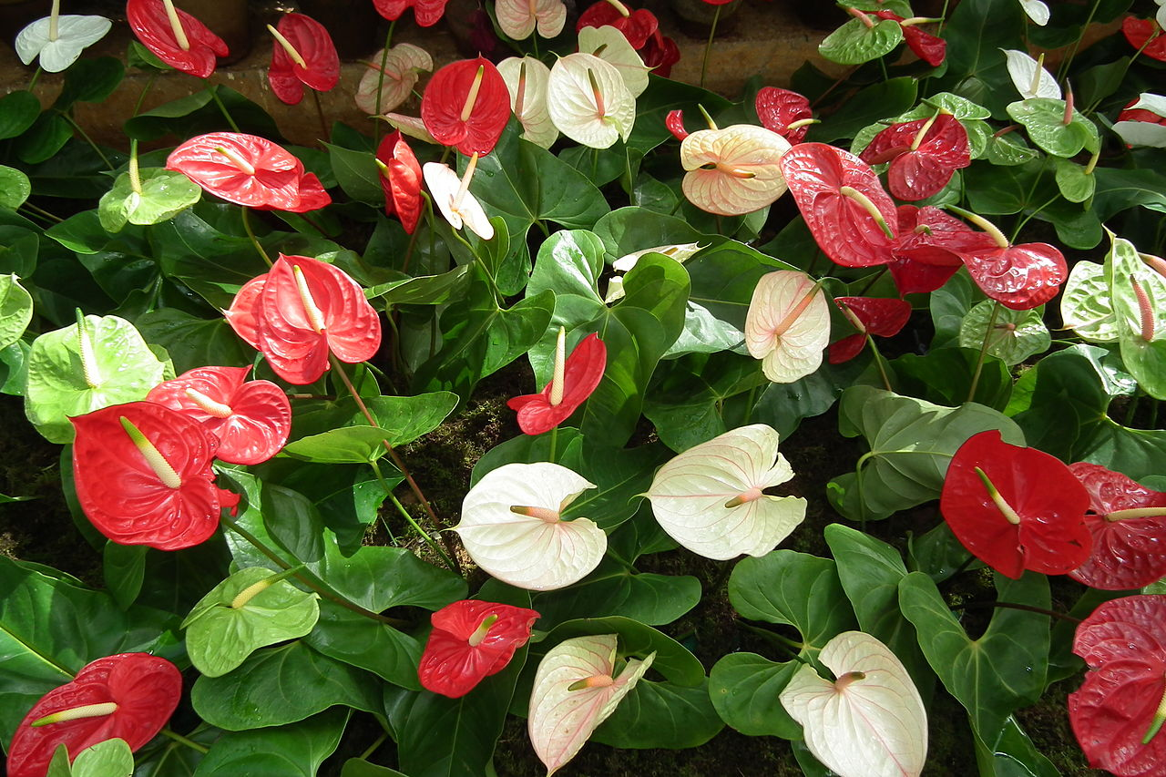 Flower Homes: Anthurium Flowers