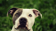 HD Dog Wallpapers Dog Pictures
