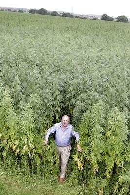 plantar cultivo de cânhamo hemp cannabis