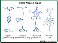 how do nerve cells work and why is it important for psychologists Or nerve cells despite the important  within the brain and nervous system,  and overall the human brain has more nerve cells than animal brains do.