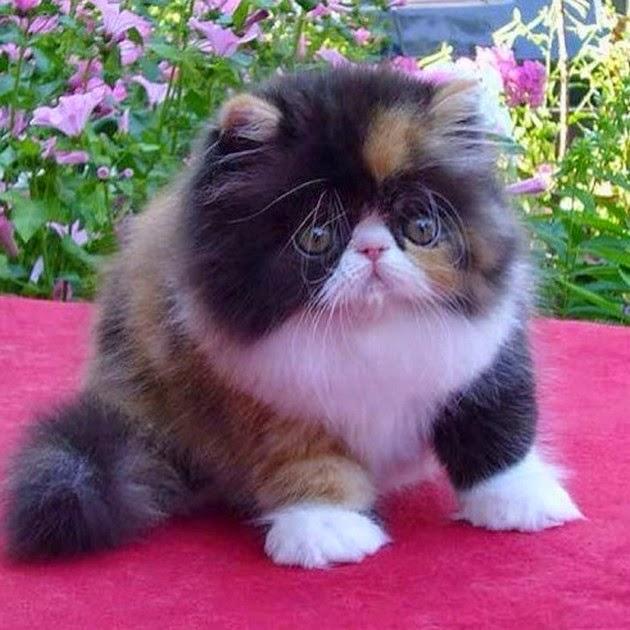 Top 5 Most Popular Cat Breeds