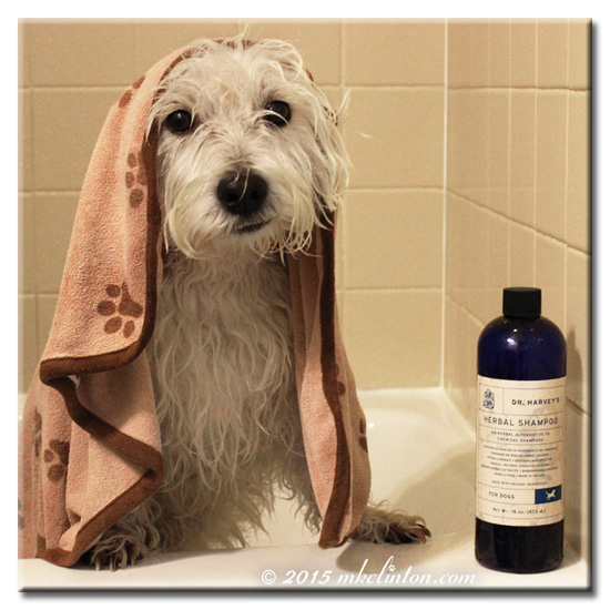 Pierre Westie in bathtub with towel on his head and Dr. Harvey's shampoo