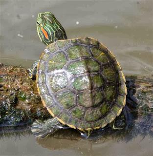 gambar kura-kura kecil