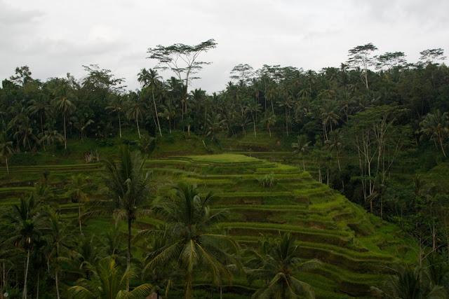 Terrazas de arroz cerca de Ubud, Bali.