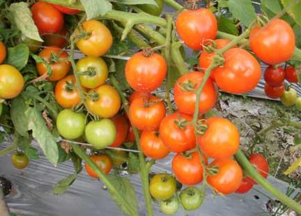 Cara Budidaya Tanaman Tomat Organik dengan produk pertanian organik NASA (POC NASA, SUPERNASA, HORMONIK, AERO-810, GLIO, BVR