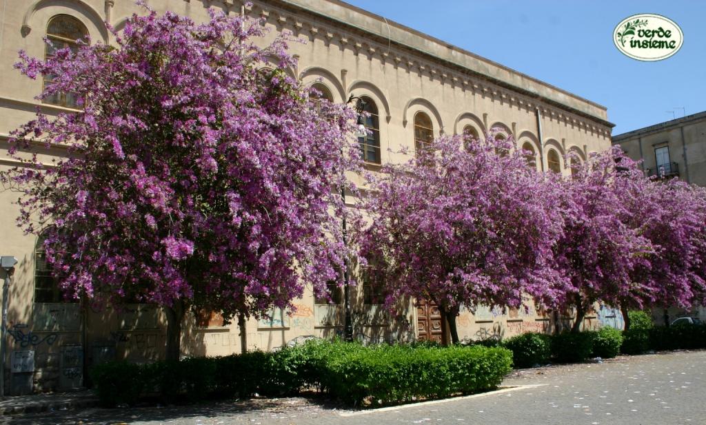 Bauhinia variegata un piccolo albero tutto in fiore - Alberi condominiali in giardini privati ...