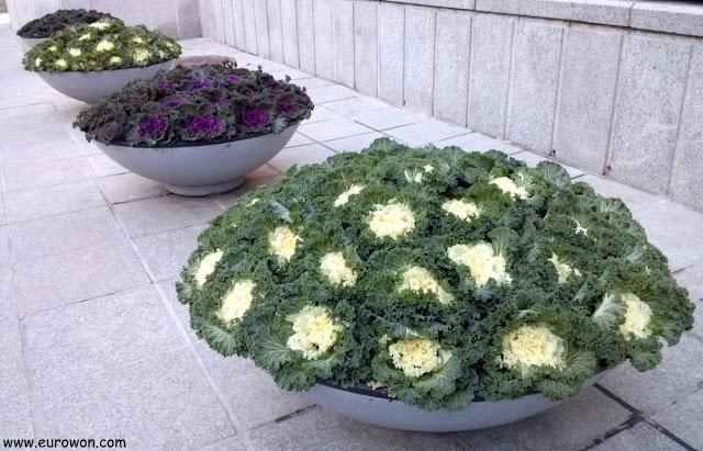 Macetas con coles ornamentales en Seúl