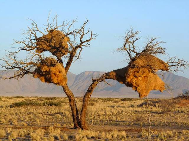 Sociable weaver living in South Africa, Namibia and Botswana. They create these huge nests, where hundreds of birds can live for several generations. Nests of sticks and grass, built to last and also retain heat well.