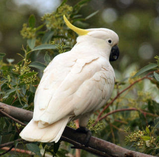 Sulphur Crested Cockatoo Bird Picture