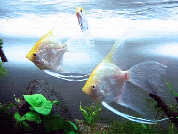 Ikan, Ikan Mas, Ikan Mas Koki, Aquarium, Ikan Air Tawar, Jual Ikan