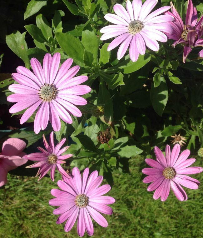 Picture of pink Osteospermum