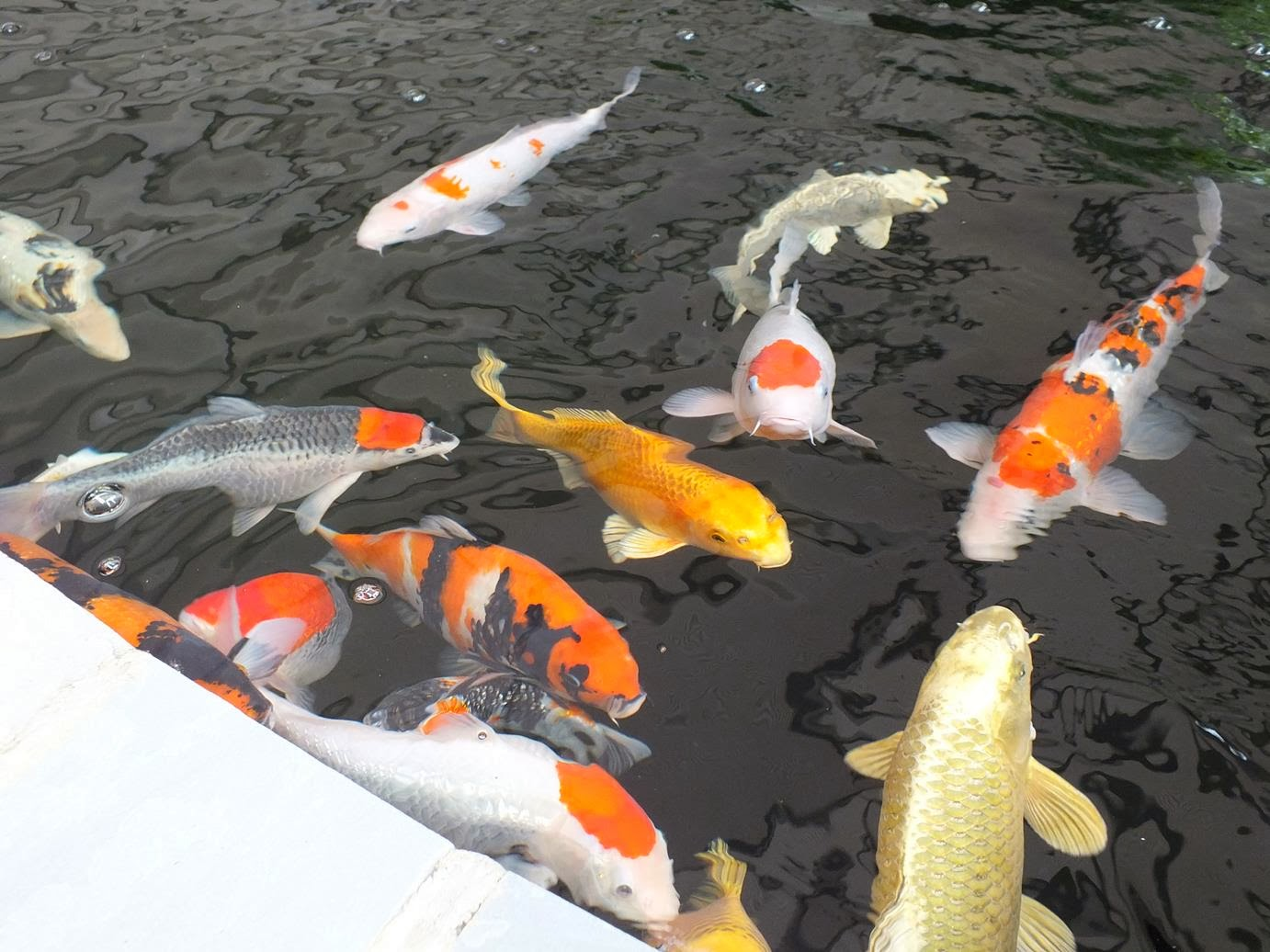 Alternative eden exotic garden the big koi pond reveal for Exotic koi fish