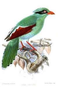 Burung murai Hijau