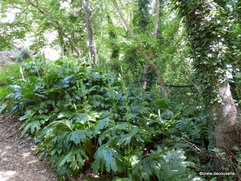 Acanthe plante for Plante 5 feuilles