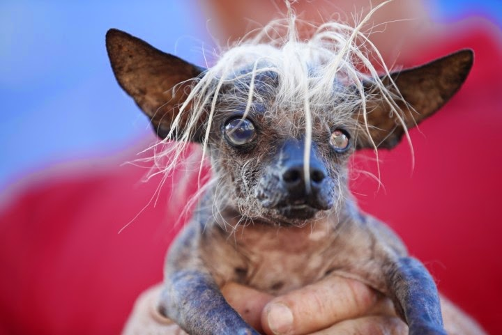 A contestant of world's ugliest dog competiton
