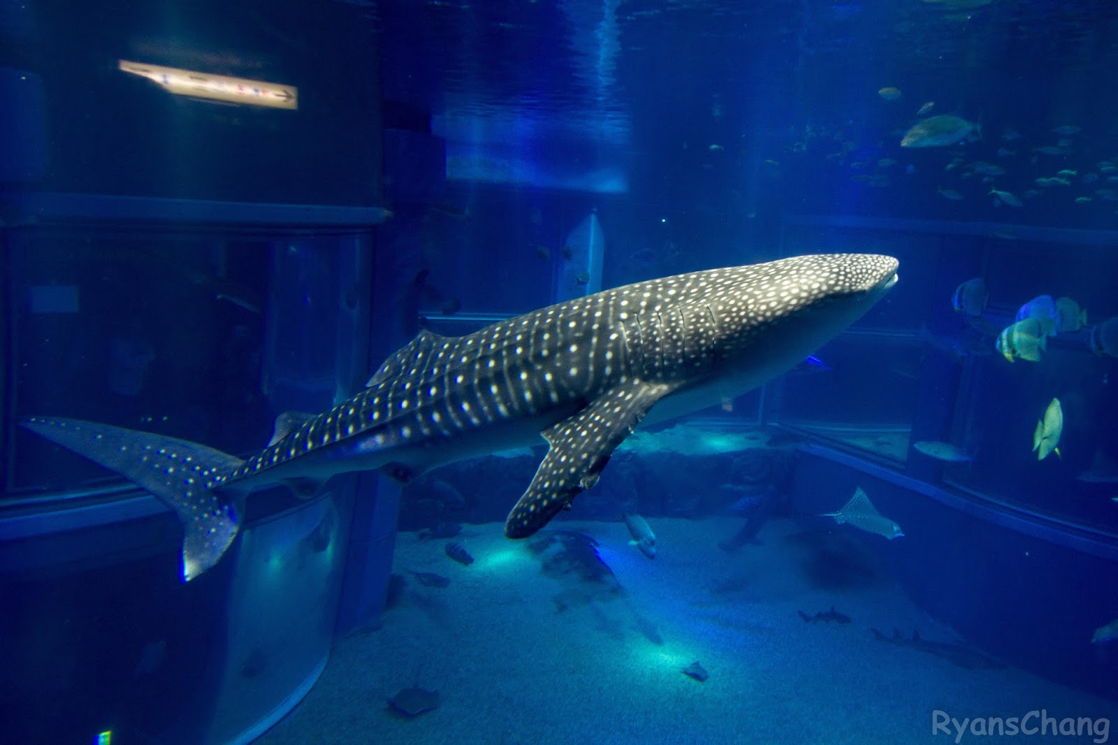 Whale Shark Baby Whale shark in a tank was Whale Shark Size