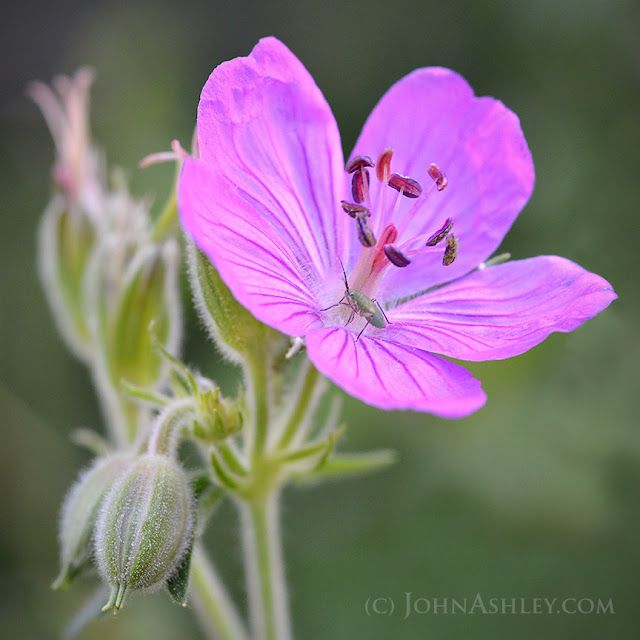Sticky geranium (c) John Ashley