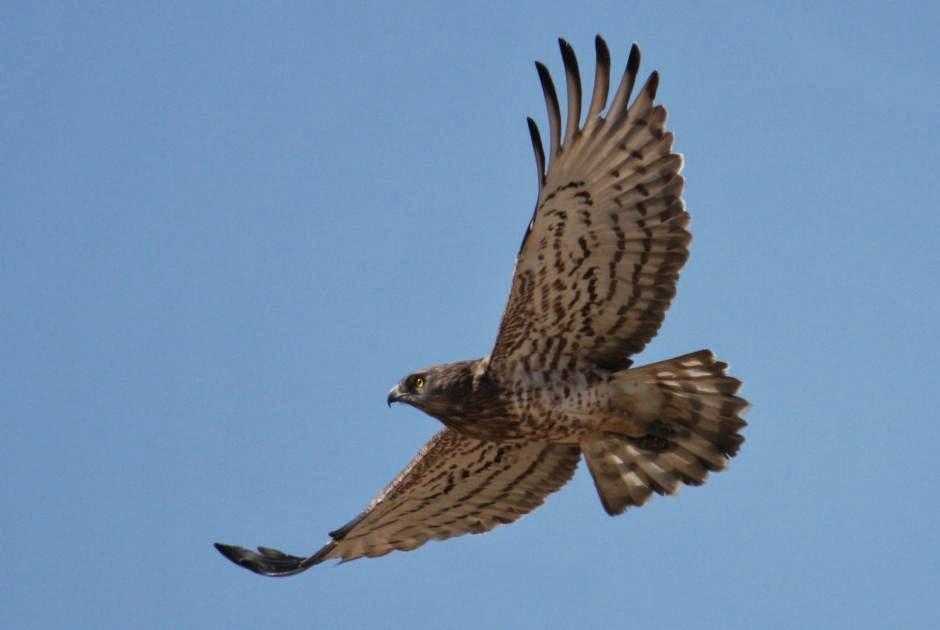 Águila Culebrera en Vuelo