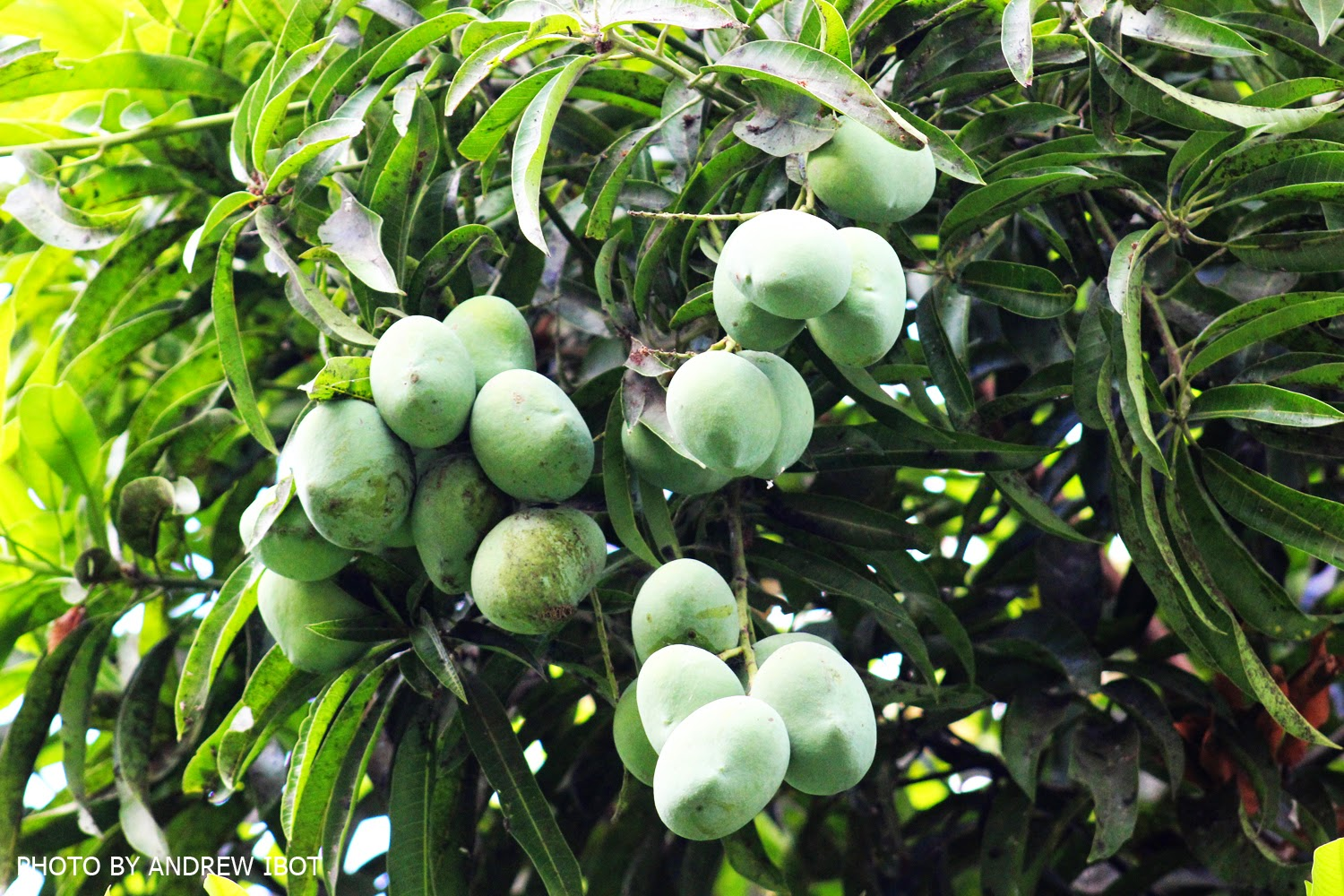 mango mangifera indica leaves extract and The flower extract of the leaves of mangifera indica and fatty acids of the kernel fat of different malagasy mango (mangifera indica.