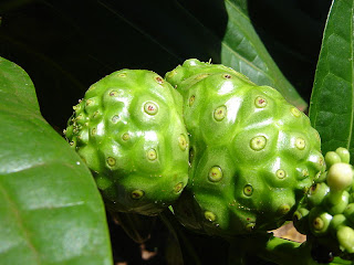 Today, Noni fruit has become the drug of choice has been very popular