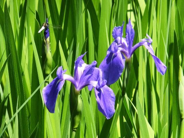 カキツバタは初夏の涼風をあびて揺れていた。 平安時代の歌人、藤原俊成が「神山や 大田の沢のかきつ