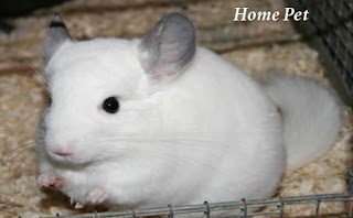 Regular health checks for a chinchilla