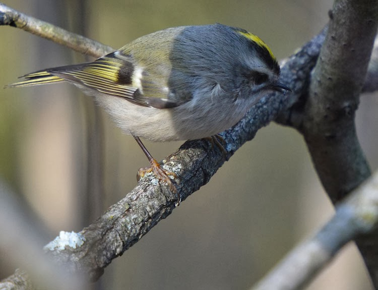 kinglet nabbing an insect