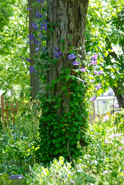 Clematis 'Perle d'Azur' trained on the tree