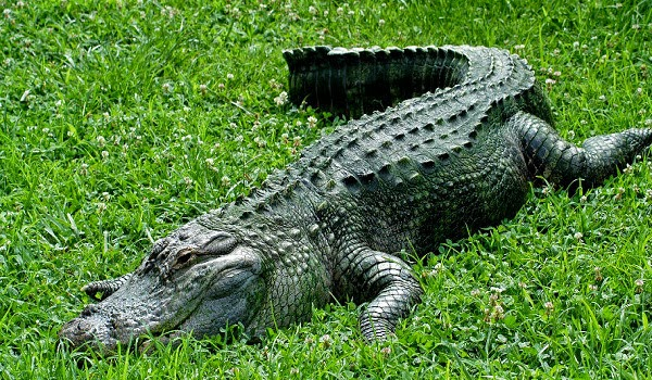 an overview of the alligator animal species of reptiles Alligators are in the same family as other large reptiles like alligator is a much smaller species larger animals adult alligators have been known.