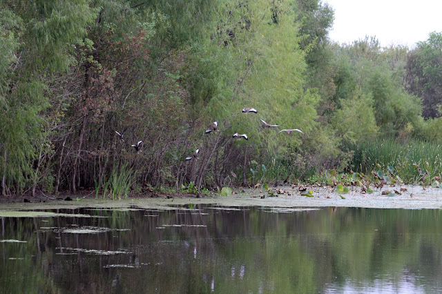 Whistling Ducks at Elm Lake-Brazos Bend State Park, Needville, Texas