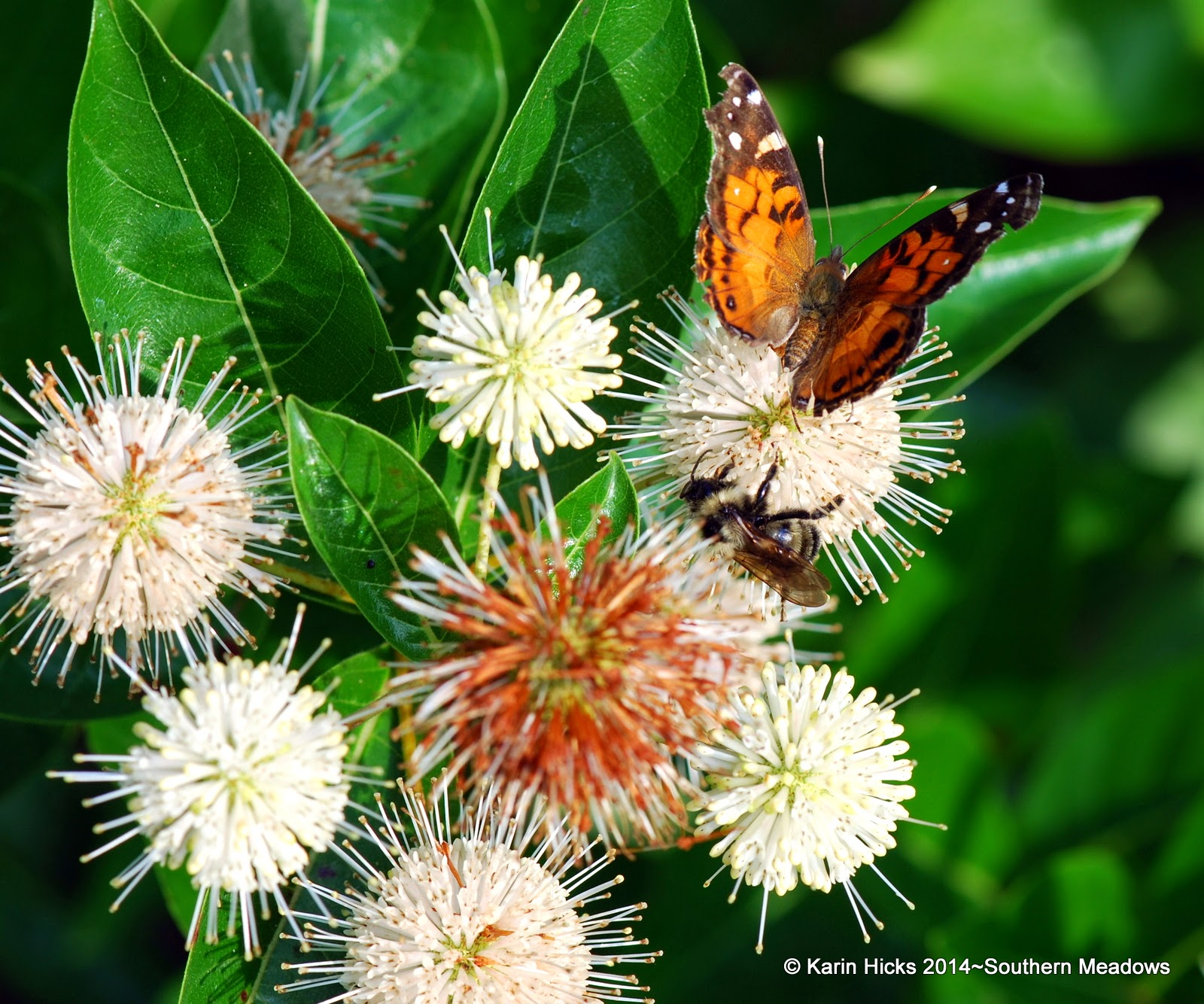 painted lady butterfly and bee on button bush