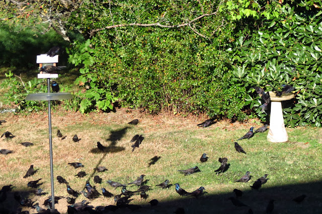 yard full of grackles
