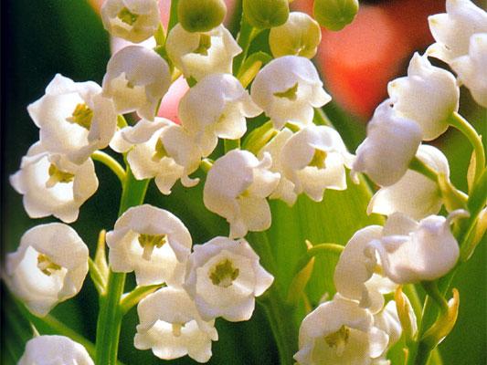 Piante e fiori il mughetto for Pianta ornamentale con fiori a grappolo profumatissimi