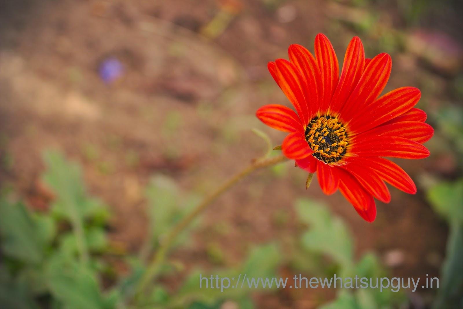 Asteraceae Flower