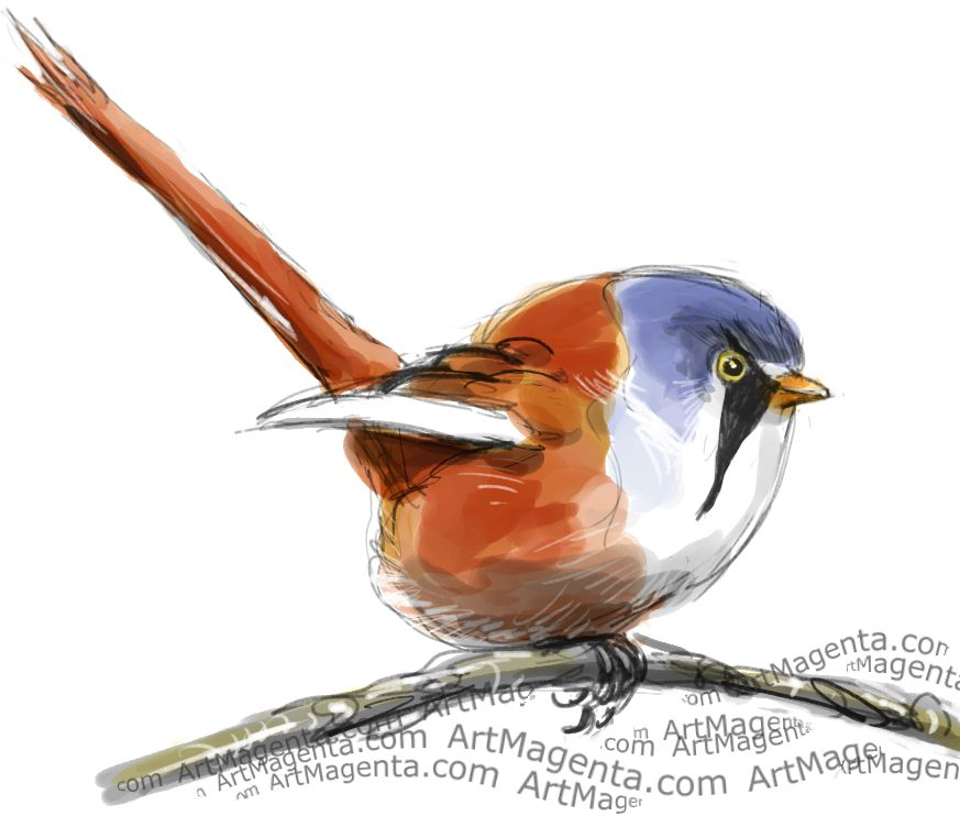 Bearded Reedling sketch painting. Bird art drawing by illustrator Artmagenta