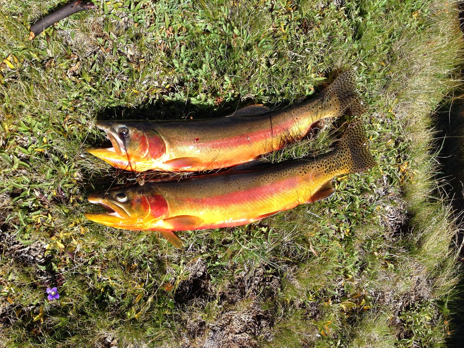 The fish sniffer golden trout 2014 southern sierras for The fish sniffer