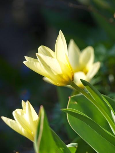 Tidligtblomstrende tulipan i haven er Tulipan Concerto
