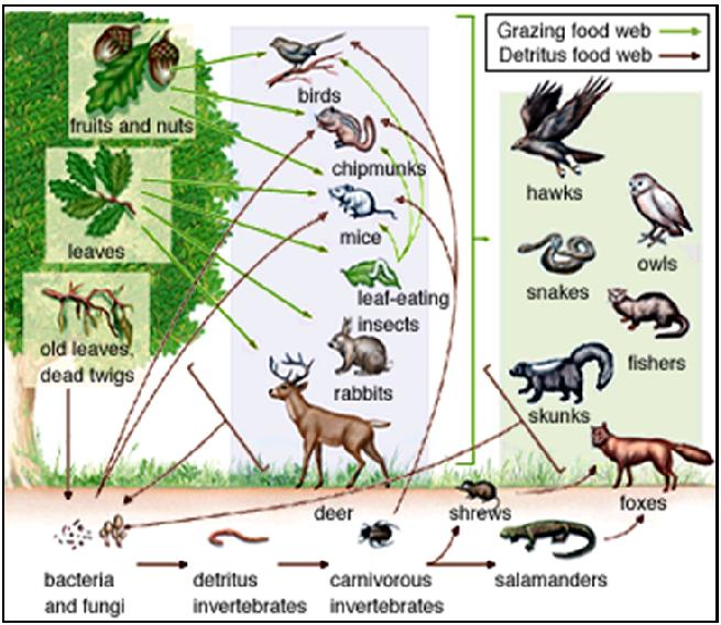 Rantai Makanan Dalam Ekosistem Dan Tipe Tipe Rantai Makanan