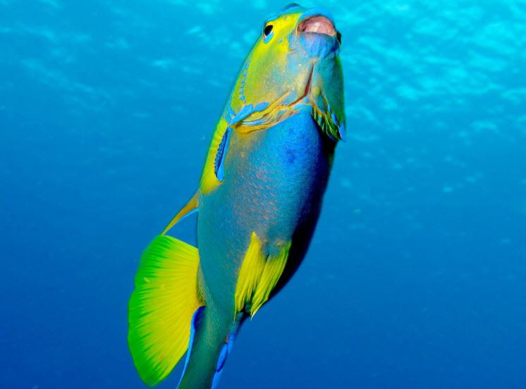 Queen Angelfish   The Life of Animals
