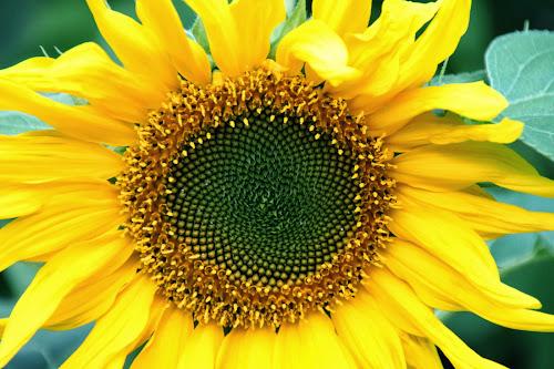 Foto bunga matahari mekar penuh