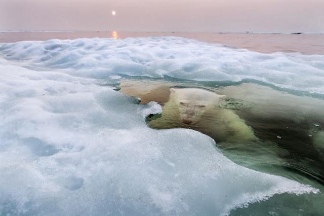 دب قطبي يسبح في خليج هدسون، وتظهر أشعة الشمس الحمراء التي ترفع درجات الحرارة.تصوير | بول سواديرز