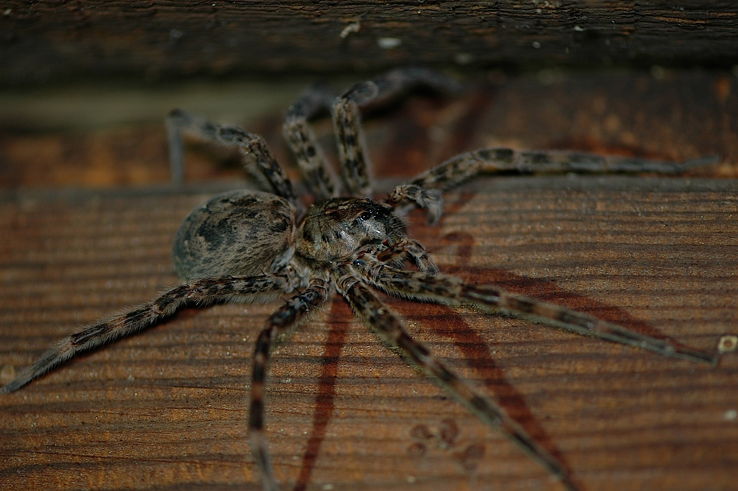 Field biology in southeastern ohio ohio spiders for Fishing spider michigan