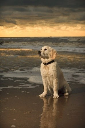 See more **White Golden Retriever http://cutepuppyanddog.blogspot.com/