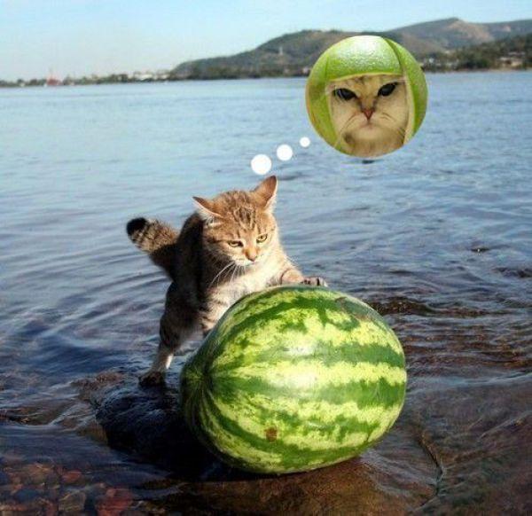 Gato com capacete de melancia