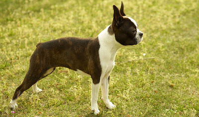 boston terrier pictures puppies