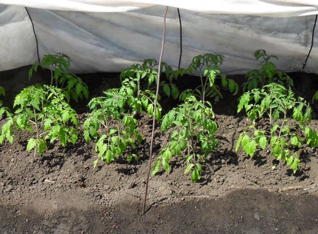 Помидоры через неделю после высадки продолжают крепнуть и расти