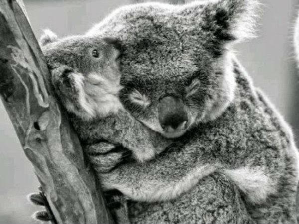 koala_abrazo_amor
